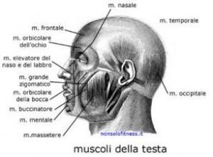 Muscoli viso